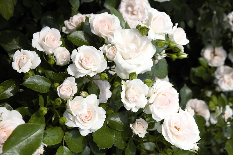 Classic bedding roses