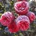 "4 + 1 offer ""Romantic Piano® roses"""