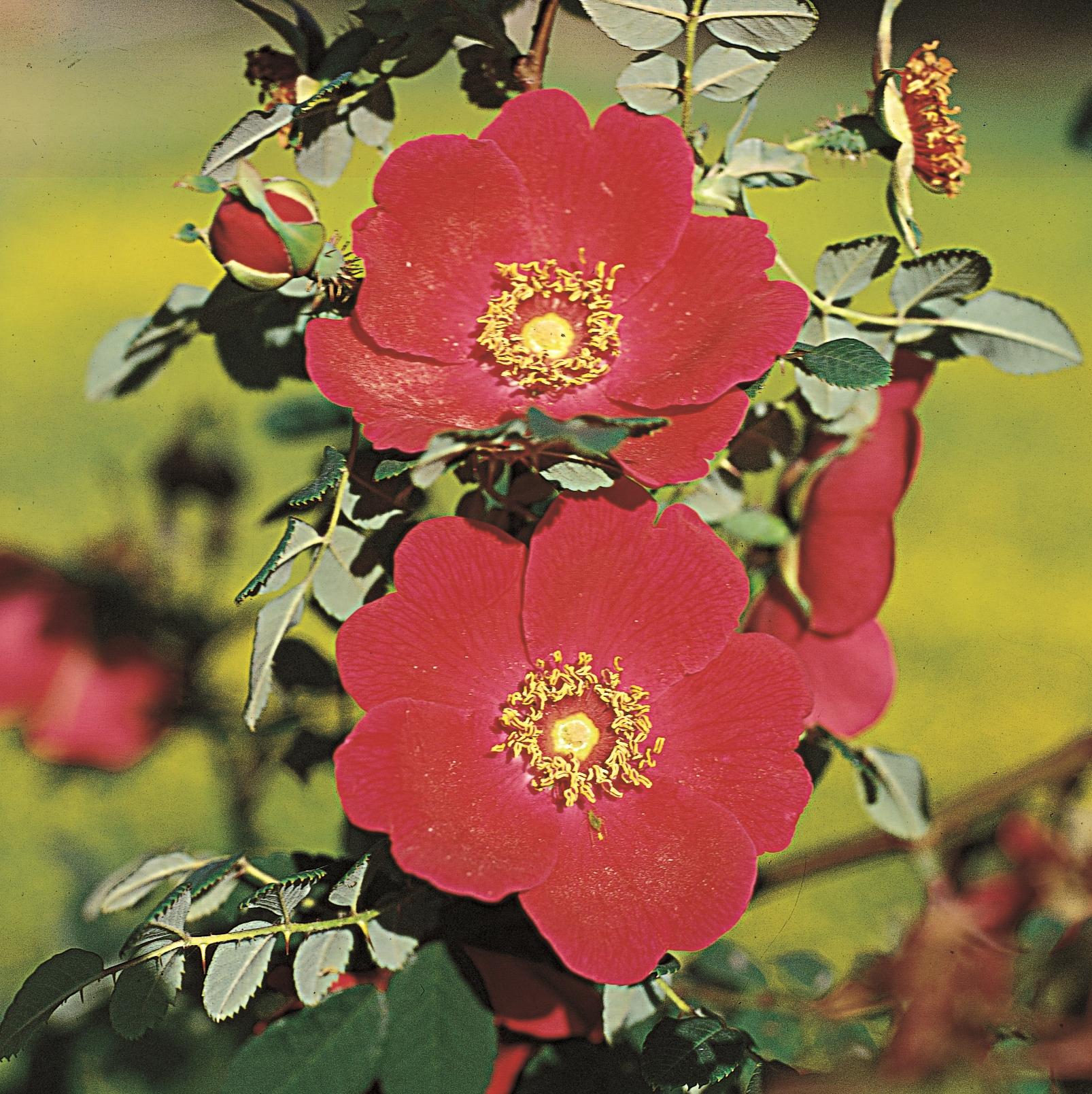 rosa moyesii park und wildrosen online kaufen rosen. Black Bedroom Furniture Sets. Home Design Ideas