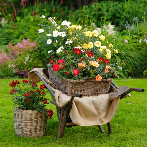 Frühbesteller-Angebot: Bienenweide® Rosen