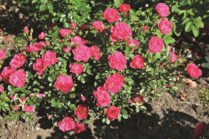 Classic miniature roses