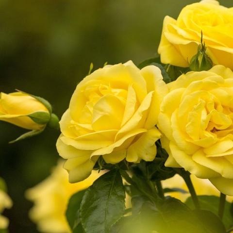 Emil Nolde Rose®