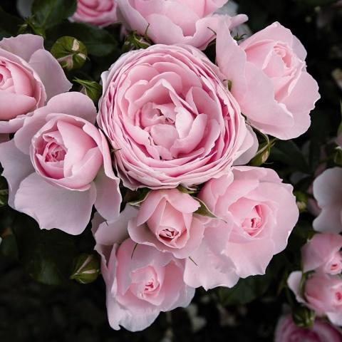 4 + 1 Angebot Hans Gönewein Rose