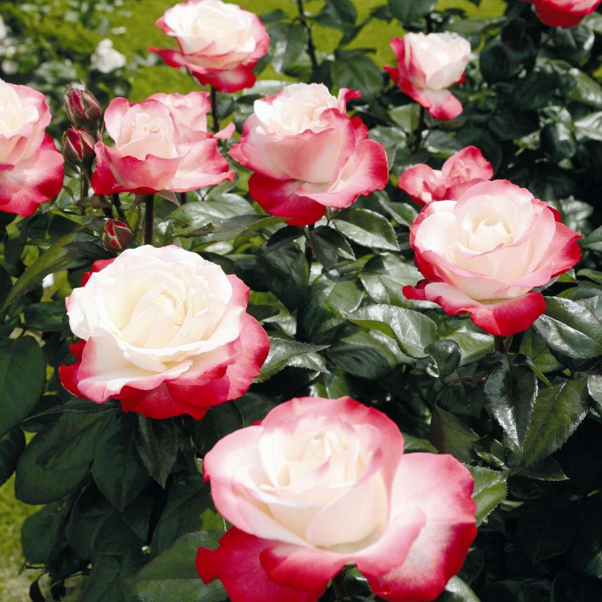 Цветы розы фото каталоги