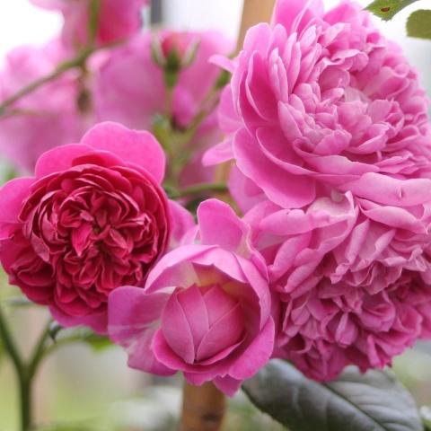 Starlet®-Rose Melina®