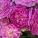 Perennial Rosali®