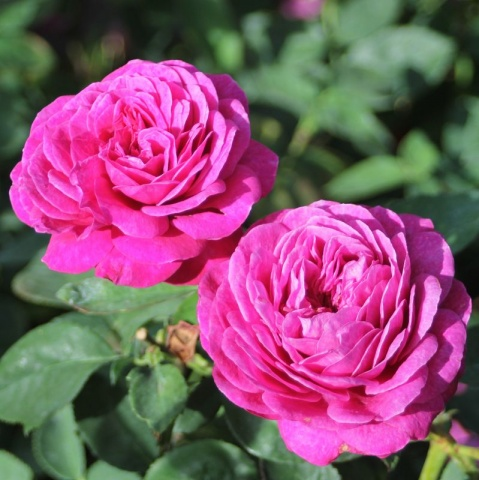 Heidi Klum® Rose