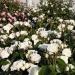 Offer: Alabaster®, pot rose