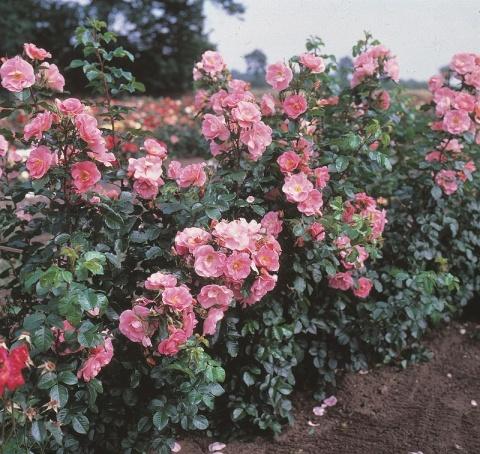 Pink Robusta®