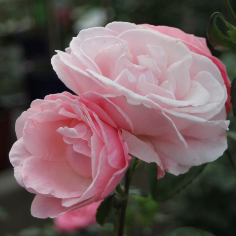 The Queen Elizabeth Rose®