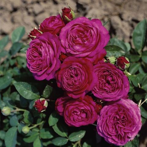 heidi klum rose buy online rosen tantau. Black Bedroom Furniture Sets. Home Design Ideas