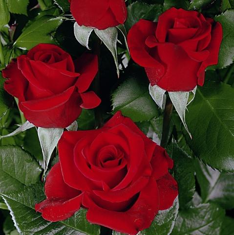 Gustav Mahler Rose