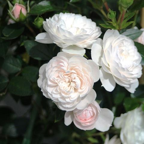 Starlet®-Rose Alina