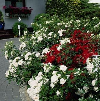 Tantop® Royal-Paket rot / weiß