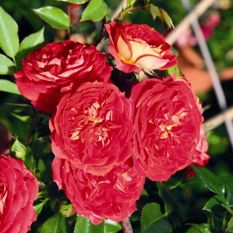 Starlet®-Rose Carmen®