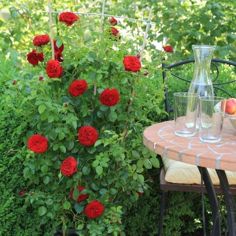Starlet®-Rose Natalie