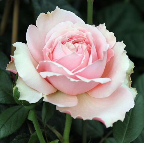 Offer: Nostalgic HT Roses
