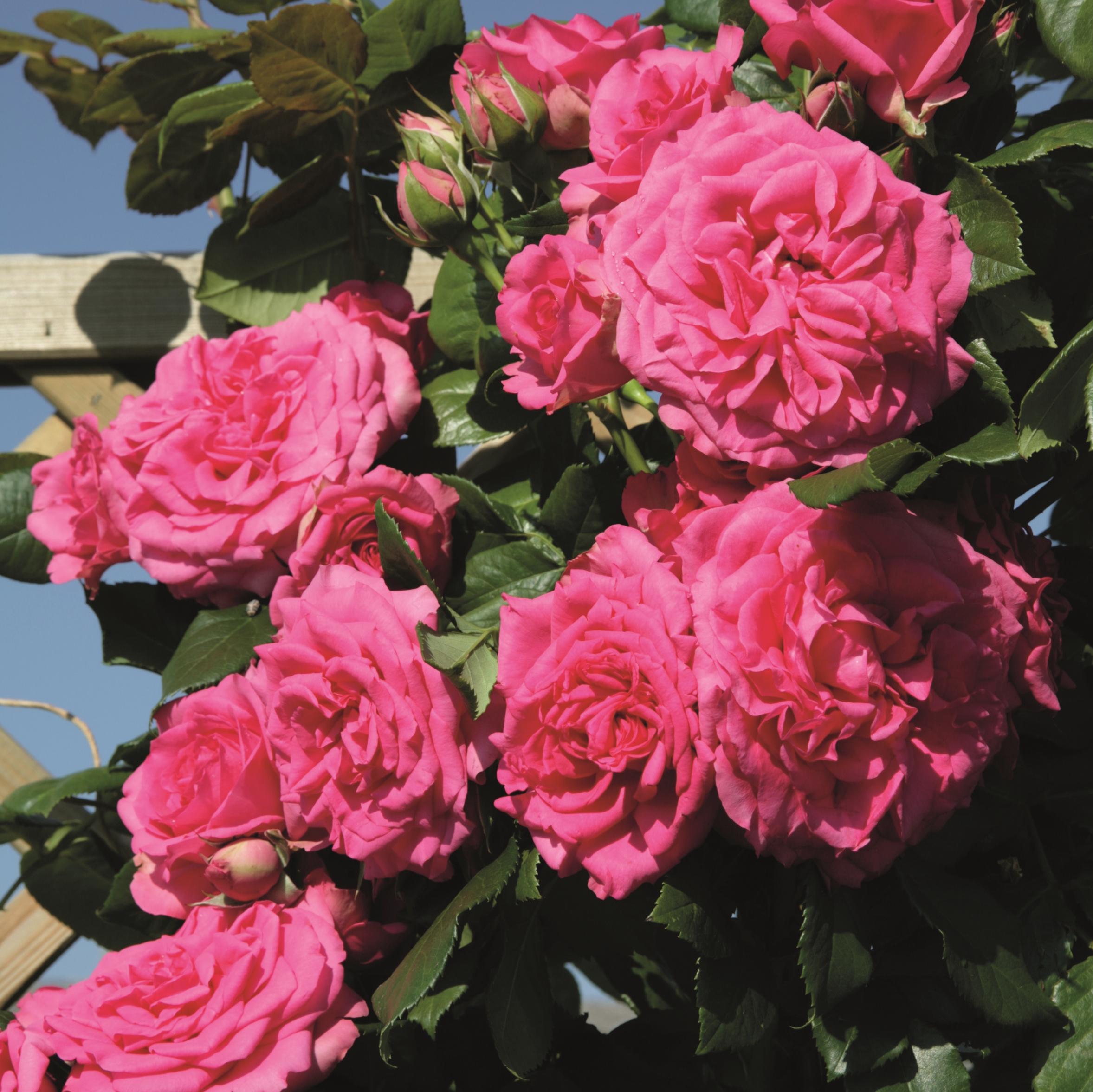 Роза маритим фото 2