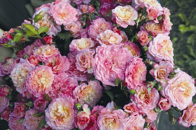 Bedding roses
