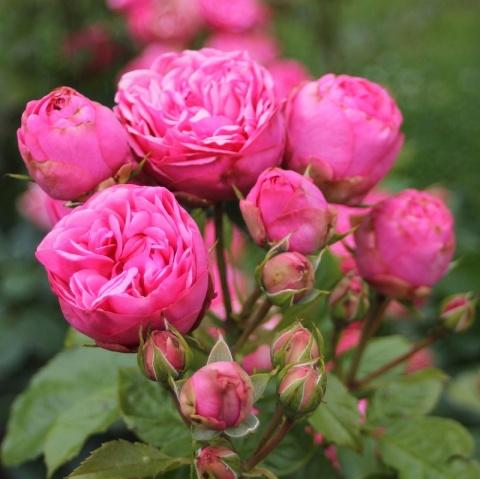Pink Piano®