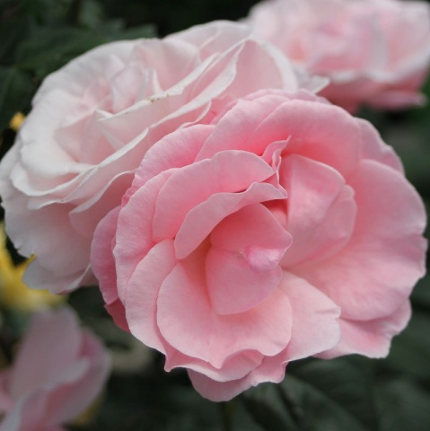 The Queen Elisabeth Rose®