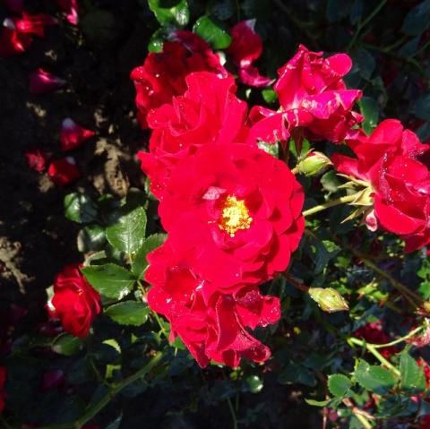 Herbst-Paket Tantop® Royal rot / weiß