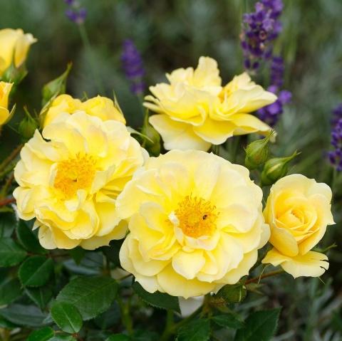 Bienenweide® Gelb