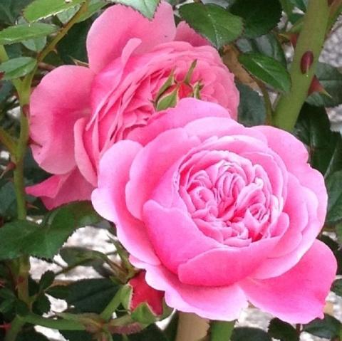 Starlet®-Rose Eva®