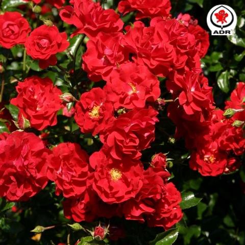 grugapark rose salsa kleinstrauchrosen online kaufen rosen tantau. Black Bedroom Furniture Sets. Home Design Ideas