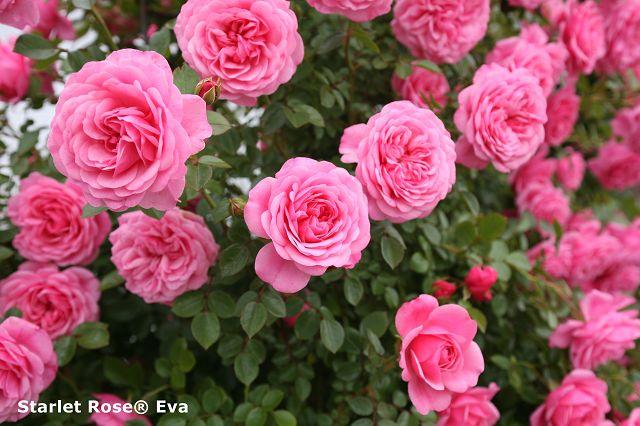 Starlet® roses / mini climber