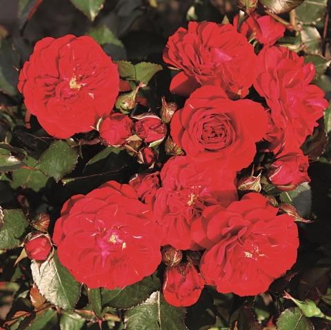 Rose von Oldenburg®