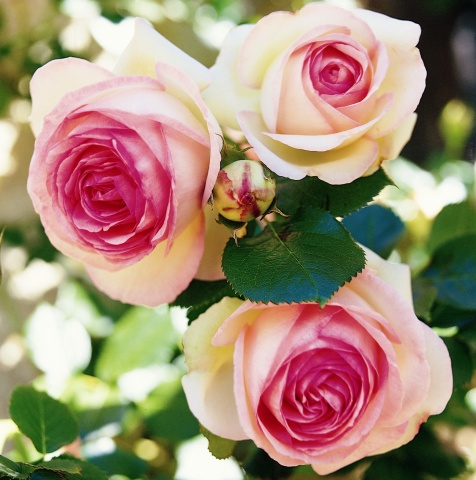 Eden Rose® 85