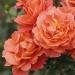 Theodor Fontane Rose®
