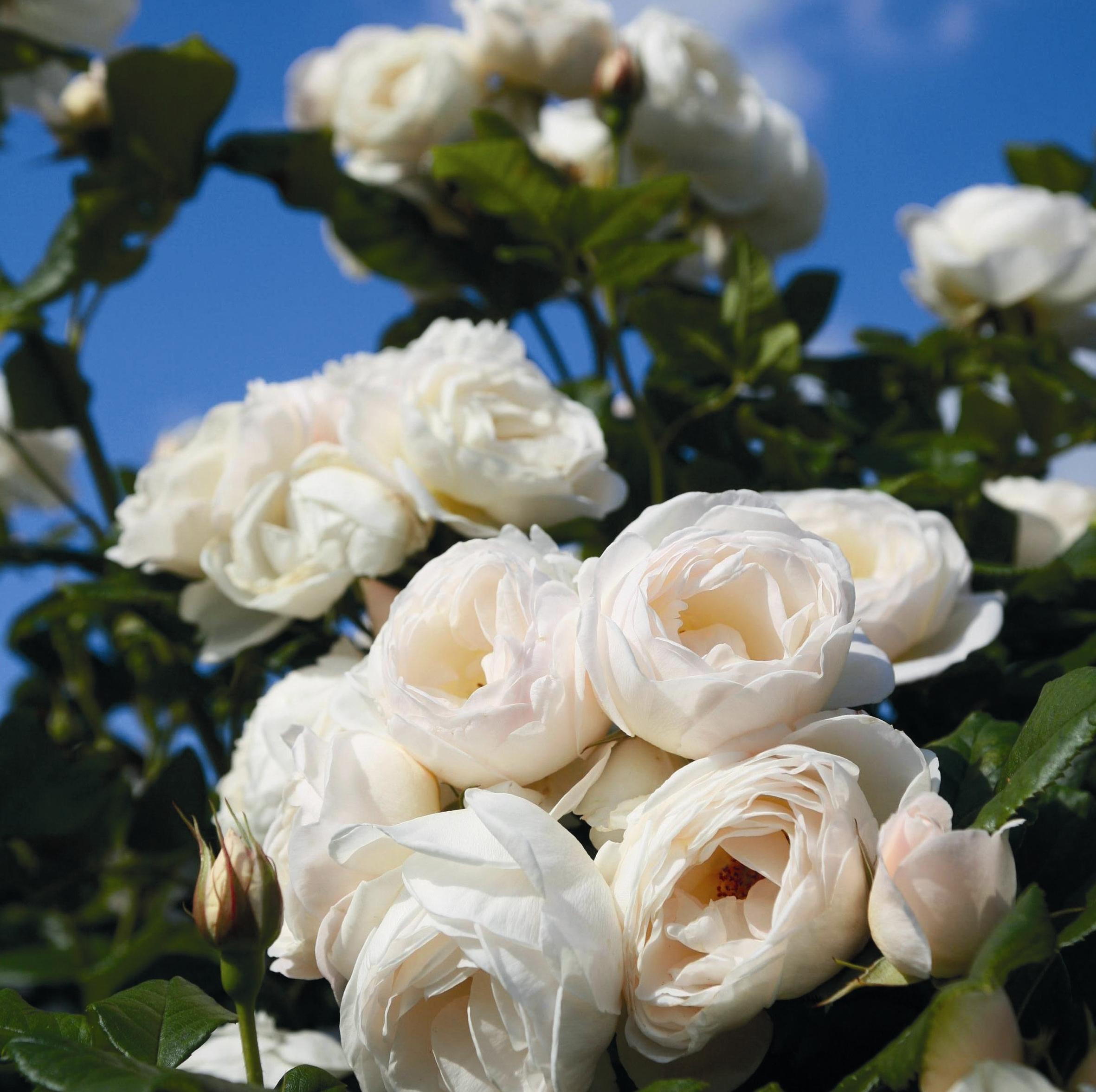 uetersener klosterrose online kaufen rosen tantau. Black Bedroom Furniture Sets. Home Design Ideas