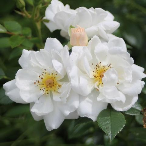 Bienenweide® Weiß