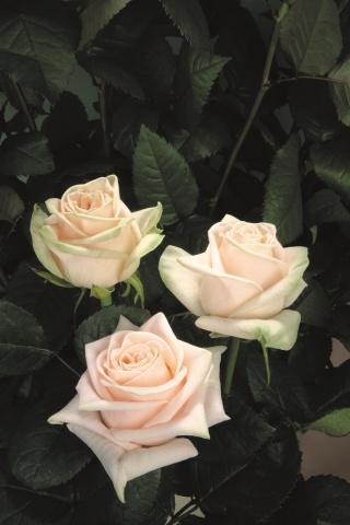 Wedding Rose®