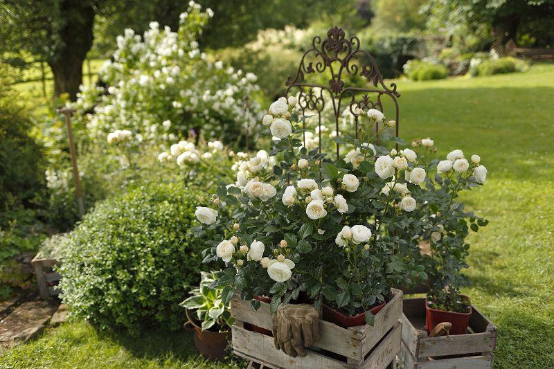 Fragant shrub roses