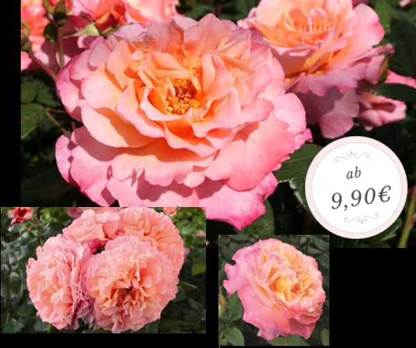 Gartenrosen In Hochwertiger Qualität Online Kaufen Rosen Tantau