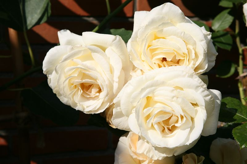Classic climbing roses