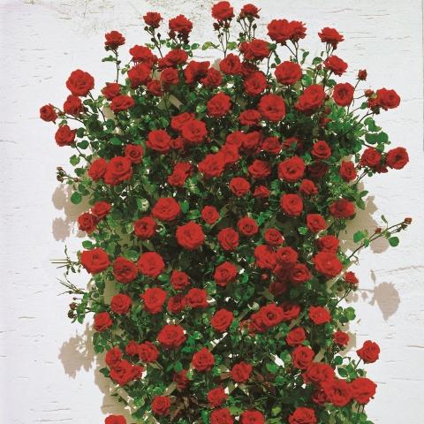 kletterrose santana online kaufen rosen tantau. Black Bedroom Furniture Sets. Home Design Ideas