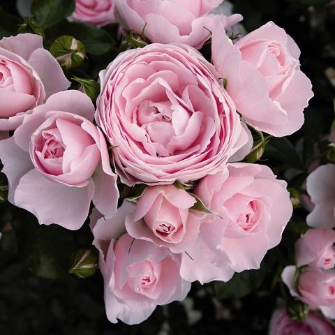 Hans Gönewein Rose