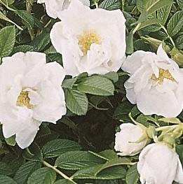 Rosa rugosa Schnee-Eule®