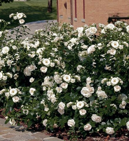 Aspirin® Rose