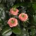 Green Island® Poppy