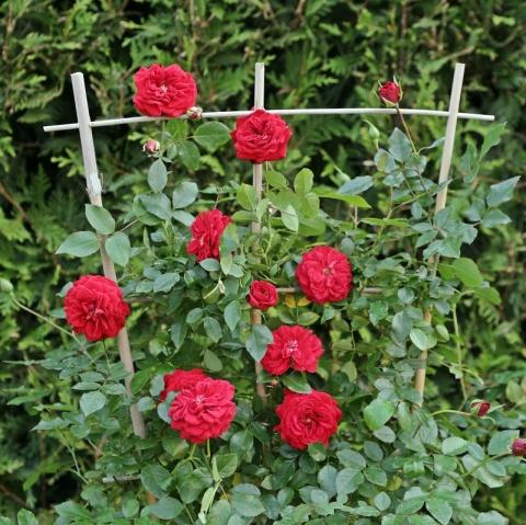 Starlet®-Rose Natalie®