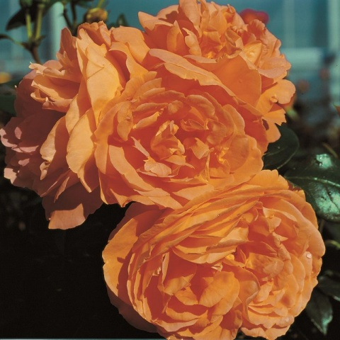 Bernstein Rose®