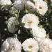 Rosenpaket White Babyflor®