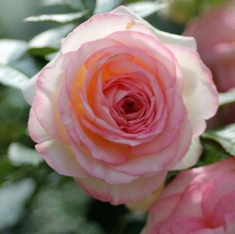eden rose 85 buy online rosen tantau. Black Bedroom Furniture Sets. Home Design Ideas
