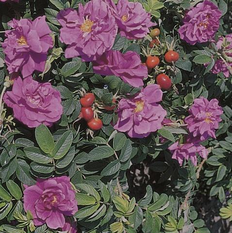 Rosa rugosa Pierette®