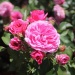 Juni-Angebot Nostalgie® Rose Baronesse®